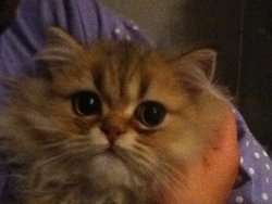 Alvin, chat Persan