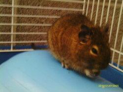 Alvin , rongeur