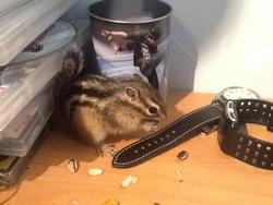 Alvin, rongeur