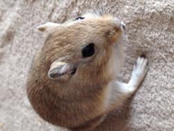 Alvin, rongeur Gerbille