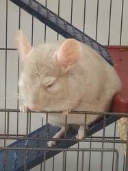 Alvin, rongeur Chinchilla