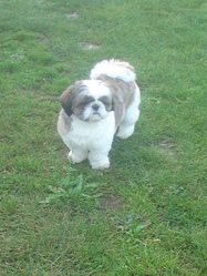 Alvin, chien Shih Tzu