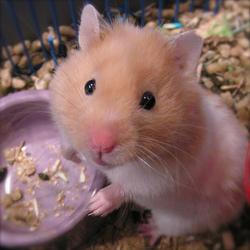 Alvine, rongeur Hamster
