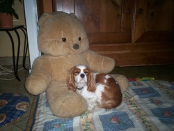 Alvy, chien Cavalier King Charles Spaniel