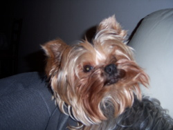 Alysée, chien Yorkshire Terrier