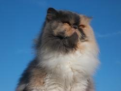 Alyzée, chat Persan