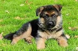 Amanda, chien Berger allemand
