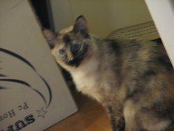 Amanda, chat Siamois