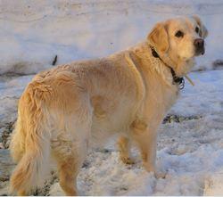 Amande, chien Golden Retriever