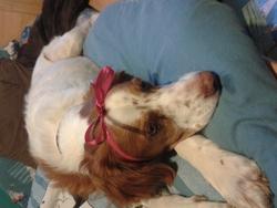Amande, chien Épagneul breton