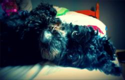 Amande, chien Caniche