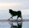 Amarok, chien Malamute de l'Alaska