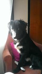 Amarok, chien Husky sibérien