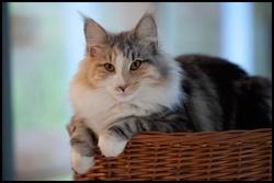 Amarula, chat Norvégien