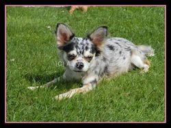 Amaury, chien Chihuahua