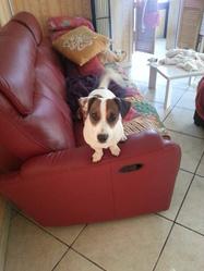 Amaya, chien Jack Russell Terrier
