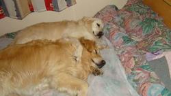 Ambre, chien Golden Retriever