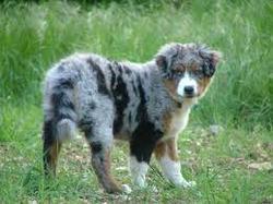 Ambre, chien Berger australien