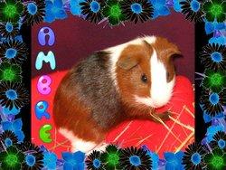 Ambre, rongeur Cochon d'Inde