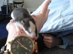 Ambre, rongeur Rat