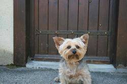 Ambre, chien Yorkshire Terrier