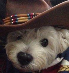 Ambre, chien West Highland White Terrier