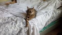 Amchiche, chat