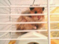 Amidou, rongeur Hamster