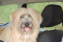 Amigo, chien Berger des Pyrénées