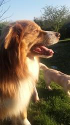 Amigo, chien Berger australien