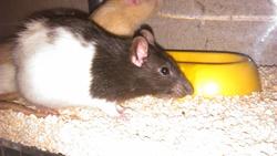 Amilton, rongeur Rat