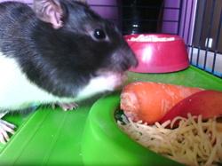 Ammemon, rongeur Rat