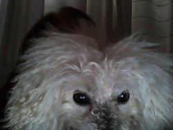 Amour, chien Caniche