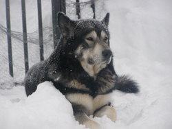 Amrok, chien Malamute de l'Alaska