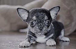 Amy, chien Chihuahua