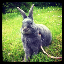 Amy, rongeur Lapin
