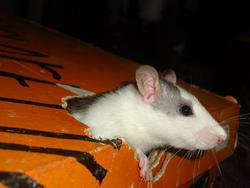 An-Jou, rongeur Rat