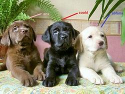 Ana, Cooki Et Ablana, chien Labrador Retriever