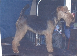 Anais, chien Welsh Terrier