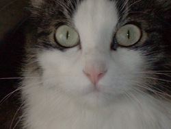 Anais, chat Norvégien