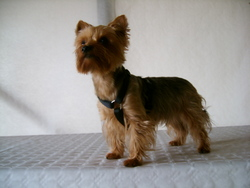 Anais, chien Yorkshire Terrier