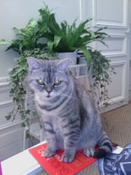 Anais, chat British Shorthair