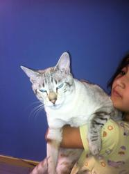 Anais, chat Siamois
