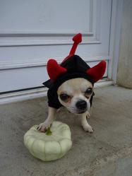 Anakin, chien Chihuahua