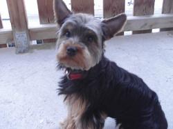 Anakine, chien Yorkshire Terrier