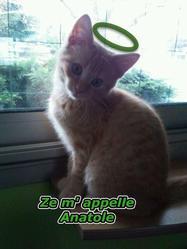 Anatole, chat Européen