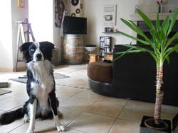 Anatole, chien Border Collie