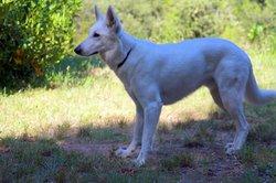 Andgel, chien Berger blanc suisse