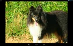 Andgi, chien Berger des Shetland