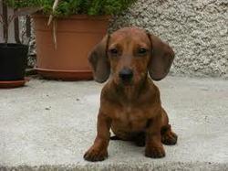 Andréa, chien Teckel
